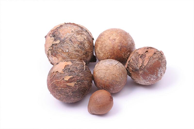 タマヌ(テリハボク)の種子