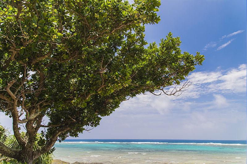 タマヌの木(テリハボク)